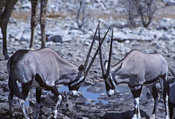 Oryx match up their horns. Waterhole in Etosha National Park