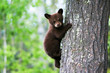 Quadro An American black bear cub clings to the side of the tree