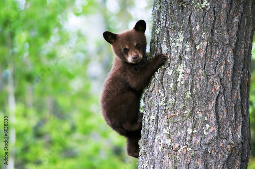 Fotobehang Dragen An American black bear cub clings to the side of the tree