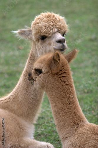 Foto op Aluminium Lama Alpacas 4