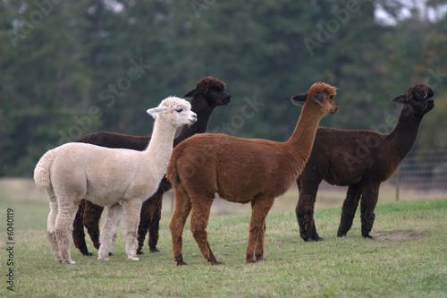 Foto op Plexiglas Lama Alpacas 3