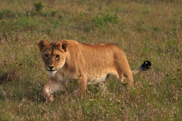 Young lion stalking