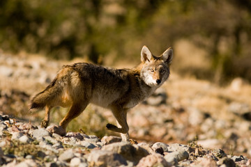 Coyote At A Trot