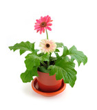Fototapety Potted houseplant pink gerbera isolated on white background