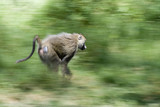 Monkey running fast through green foliage - 6049521