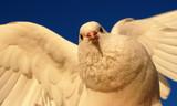 beautiful white dove, symbole of the peace poster