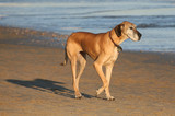 Great dane dog walking on the beach poster
