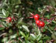 Wild cranberries on a cranberry bush.