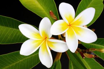 Glorious frangipani (plumeria) tropical flowers