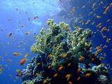 Underwater landscape with Scalefin Anthias and soft coral. poster