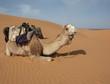 chameau sur une dune
