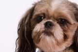 Pet Dog poster