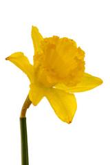 Yellow daffodil with waterdrops.