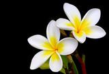 Glorious frangipani or plumeria flowers, with black background.