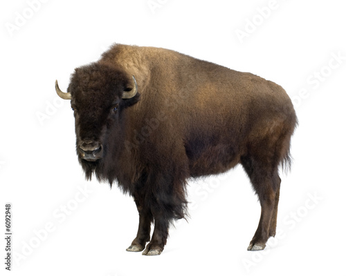 Plexiglas Buffel Bison