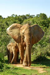 jumbo elephant and baby in savannah