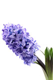 purple hyacinth isolated on white - seasonal flower poster