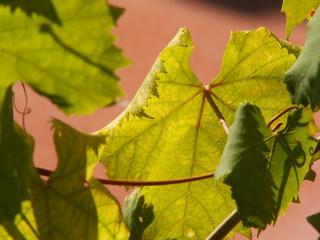 Cefalu vine leaf