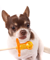 chihuahua and lollipop
