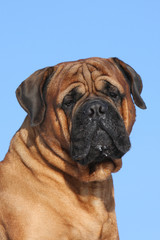portrait of bullmastiff