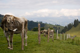 Catle enclosed. Swiss cows pastured freely in Swiss Alps.