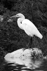 White egret standing on rock over water