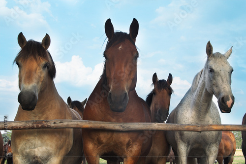 Three horses and herd on a meadow