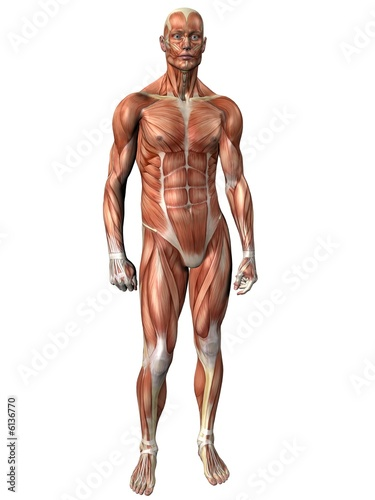 Muscle Man - Human Anatomy