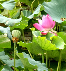 Lotus rose et nénuphars. Lac chinois.