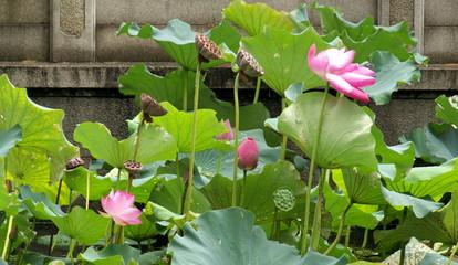 Lotus roses du lac Hangzhou, Chine