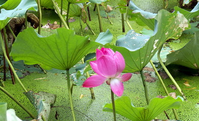 fleur de lotus, lac chinois