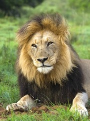 One of the biggest Lions in Africa today