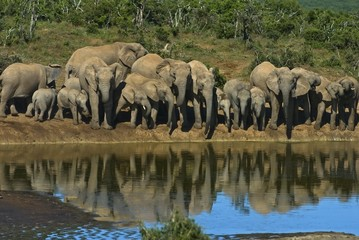 Addo is famous for its elephant herds like this breeding herd