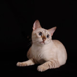 Portrait of white bengal cat isolated on black poster