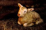 New born lamb (3 hours old) in lambing enclosure. poster