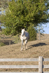White Horse Behind Wooden Fence