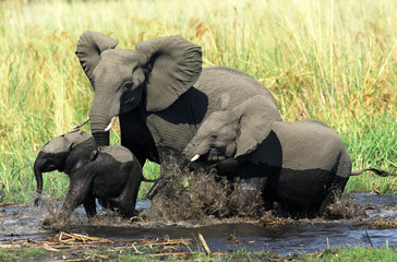 Elephant family in Okavango delta