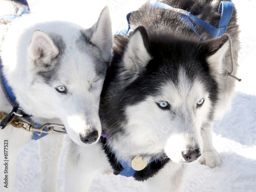 Sled dogs, one missing an eye, anxious to race