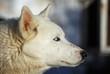 husky chien blanc