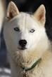 white husky dog