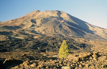lonely Canary Island pine on lava field of Teide volcano