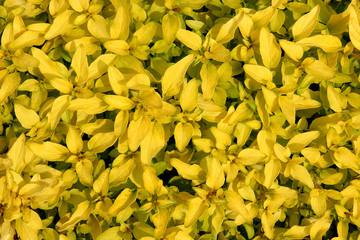 Organic Golden Marjoram