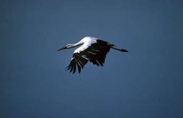 white stork in flight (Ciconia ciconia)