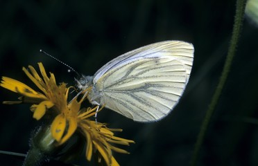Green-veined White butterfly, Pieris napi