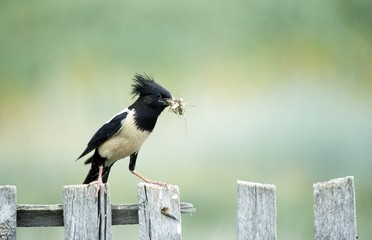 Rose-coloured Starling, Roseate Starling with food