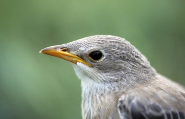 portrait of a young Rosy Starling, Sturnus roseus