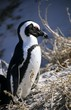 "African ""Jackass"" Penguin, portrait"