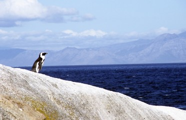 "African ""Jackass"" Penguin on coastal rock"
