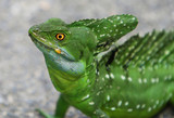 Close up headshot of an emerald double-crested basilisk poster
