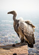 A white backed vulture perched on a wall at Meherangarh fort